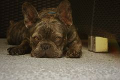 French Bulldog resting on the back patio stock image