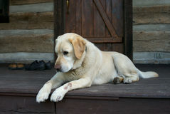 Tired friend. Yellow Labrador dog royalty free stock photo