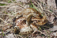 Tired frog - mating of toads Royalty Free Stock Photos
