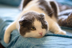 A tired funny cat lies on the belly of the bed Stock Photo