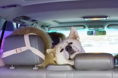 Tired funny cute dog Akita Inu breed sits funny in the back seat of the car. Tired funny cute dog Akita Inu breed sits funny in the back seat of the car in Stock Image