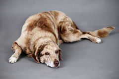 Tired funny looking dog. Cute and funny looking large spotted brown dog resting, could be tired, old, injured or ill Stock Image