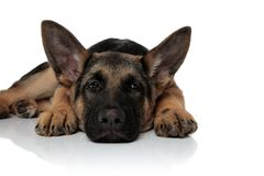Tired german shepard resting with head down looks to side royalty free stock image