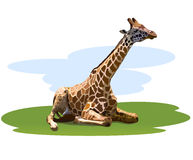 Tired giraffe. Resting on the grass Stock Photography