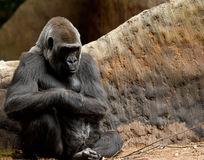 Tired Gorilla Royalty Free Stock Images