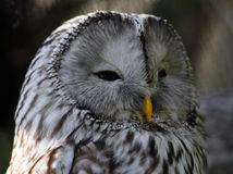 A tired Great Gray Owl looks to the right Stock Image