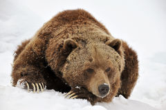 Tired grizzly bear Stock Image