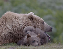 Tired grizzly mother Stock Images