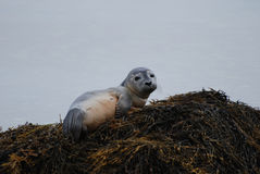 Tired Harbor Seal Pup Taking a Break Royalty Free Stock Photography