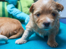 TIred Havaneser puppy looks into the camera Royalty Free Stock Image