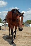 Tired Horse. Bay thoroughbred,OTTB, walking slowly to cool down Royalty Free Stock Image