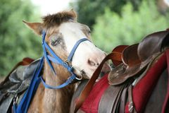 Tired Horse Resting Head on Another Horse Royalty Free Stock Photography