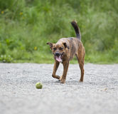 A tired hound retrieving a ball Royalty Free Stock Photo