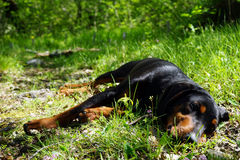 Tired hunting dog in the forest Stock Images