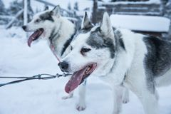 Tired sled dogs after pulling a sled for kilometers. Royalty Free Stock Image