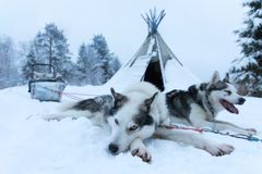 Tired sled dogs after pulling a sled for kilometers. royalty free stock images