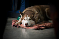 Tired husky. Tired dog laying down on a floor Royalty Free Stock Photo