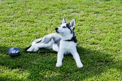 Tired husky resting on the grass Royalty Free Stock Photo