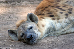 Tired Hyena Stock Image