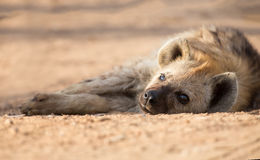 Tired hyena sleep on dirt road in the early morning Stock Photography