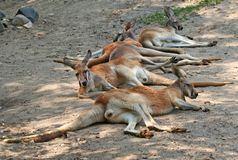 Tired Kangaroos. Resting one hot summer afternoon stock photos