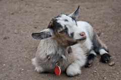 Tired Kid Goat. A tired goat kid lying down Royalty Free Stock Photos
