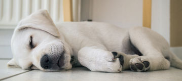 Tired lab dog puppy on the ground sleeping Royalty Free Stock Photography