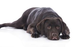 Tired labrador dog Stock Images