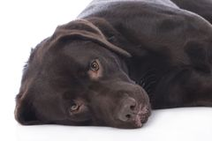 Tired labrador dog Royalty Free Stock Photos