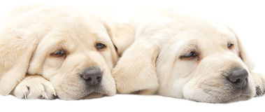 Tired Labrador puppies stock images