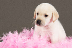 Tired labrador puppy sit on pink feathers Stock Images