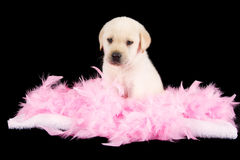 Tired labrador puppy sit on pink feathers Stock Photography