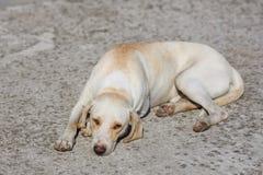 Tired labrador retriever is laying Stock Photos
