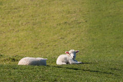 Tired lambs Royalty Free Stock Photos