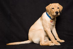 Tired Larador Retiever puppy royalty free stock photography