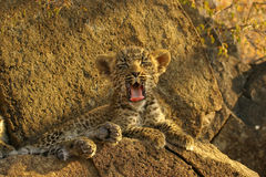Tired Leopard. A yawning leopard cub sitting on a rock being tired royalty free stock photos