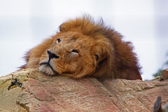 Tired lion stock images