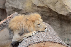 Tired lion Stock Photo