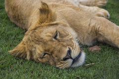 Tired Lion Cub Portrait 2 Royalty Free Stock Photo