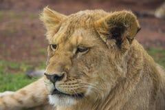 Tired Lion Cub Portrait 1 Stock Photos
