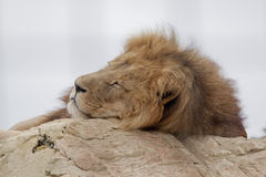 Tired lion Stock Photography