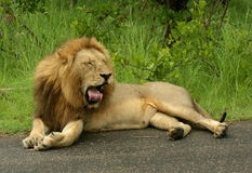 Tired Lion Male Stock Photography