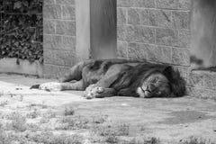 Tired Lion sleeping Stock Photos