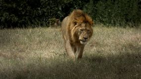A tired lion walks against the shadow Stock Photos
