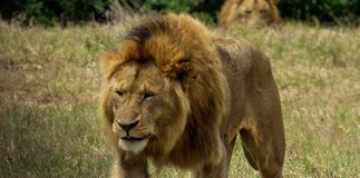 A tired lion walks against the shadow Stock Image
