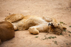 Tired Lioness Hiding her Face Stock Image