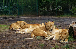 Tired lioness sleeping stock photos