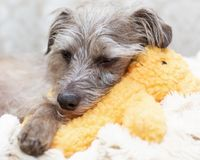 Tired Little Dog Resting on Stuffed Bear Royalty Free Stock Photography