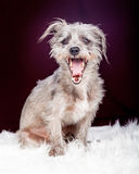 Tired Little Terrier Dog Yawning Royalty Free Stock Image