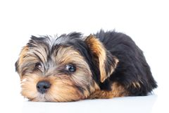 Tired little yorkie puppy dog. On white background Royalty Free Stock Image